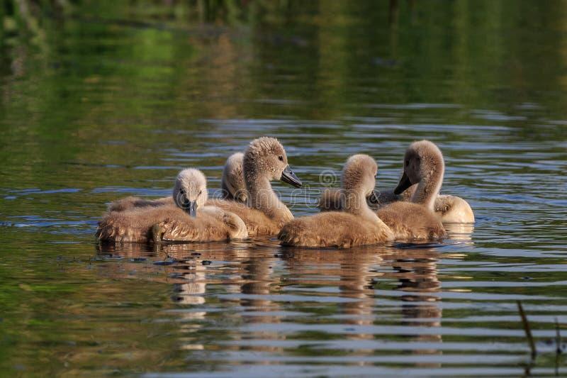 Svanfågelungar på sjön arkivfoton
