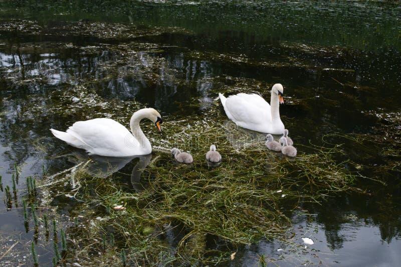 Svanfamilj av två vuxna människor och fem unga signet på floden i vår royaltyfri bild