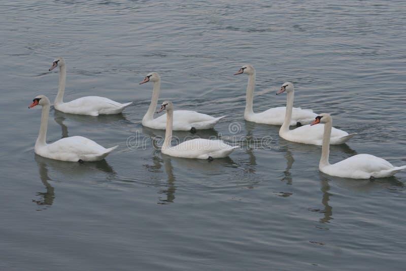 Svanfamilj i sjön royaltyfri fotografi