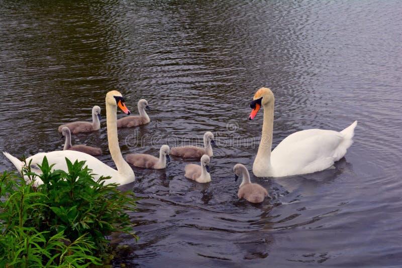 Svanfamilj i sjön, Norfolk, Förenade kungariket royaltyfri bild