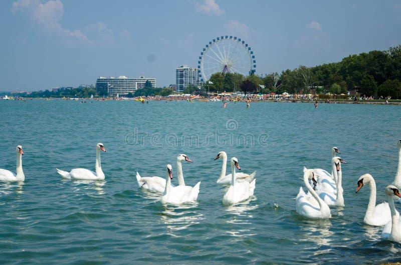 Svanflock på Balaton sjön i Siofok med pariserhjulen i th arkivfoton