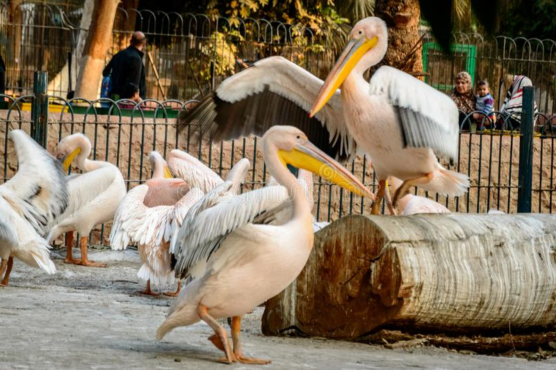 Svanledare i zoo fotografering för bildbyråer
