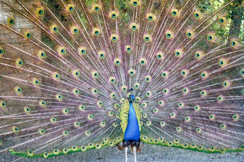 Svansen av påfågeln fotografering för bildbyråer