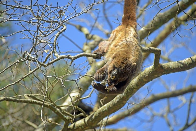 Svarione di Brown o scimmia marrone di urlo immagine stock libera da diritti