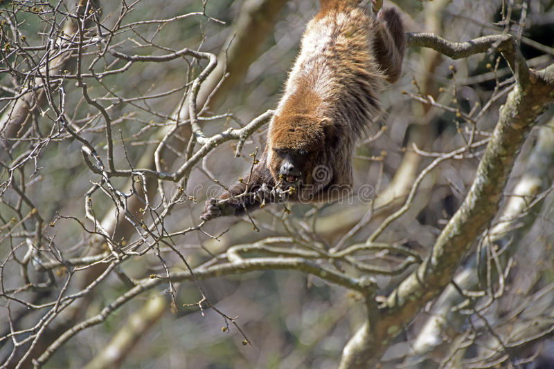 Svarione di Brown o scimmia marrone di urlo fotografia stock libera da diritti