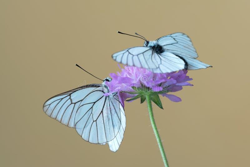 Svart-ådrad vit fjärilsAporia crataegi på blomman arkivbild