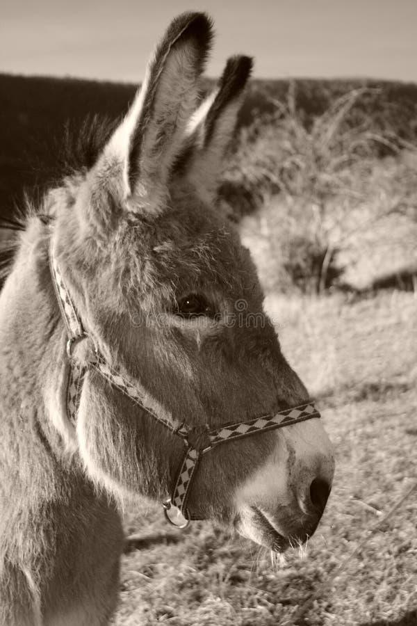 svart åsnawhite arkivfoto