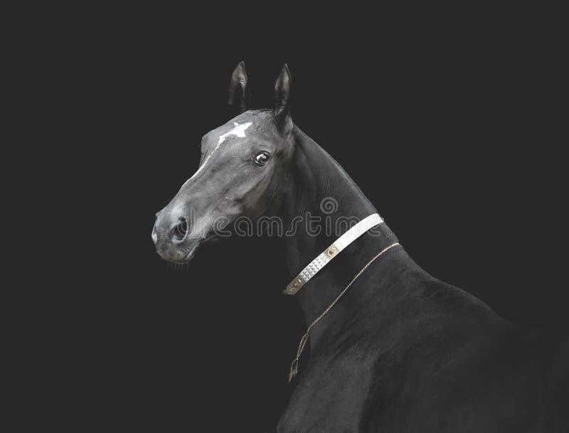 Svart akhal-tekehäst i traditionell stass på monokrom bild för mörk bakgrund royaltyfria bilder