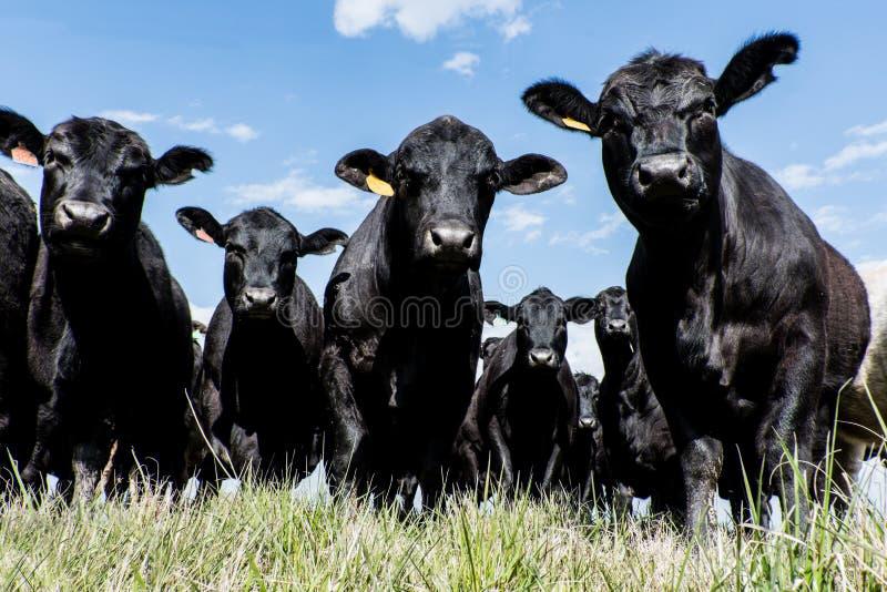 Svart Angus flock - låg vinkel royaltyfria foton