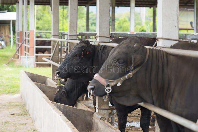 Svart Angus ko i lantgård arkivbilder
