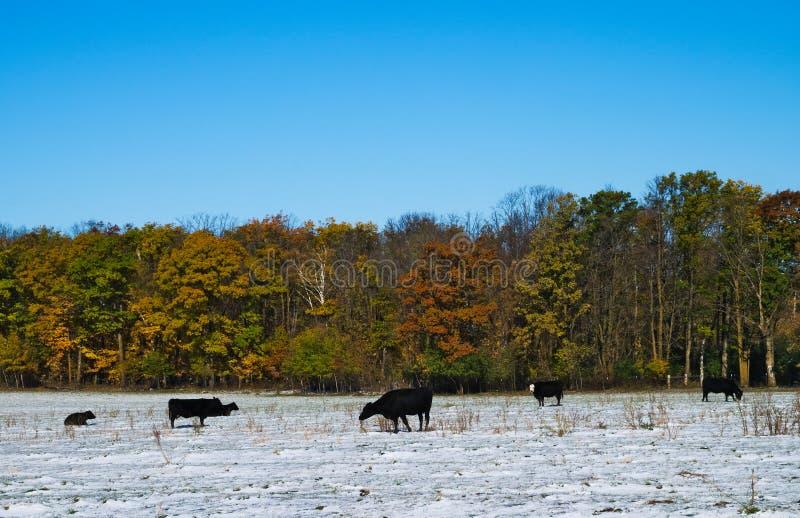 Svart angus nötköttnötkreatur skrämmer tjurar på snö täckt höst betar arkivbilder