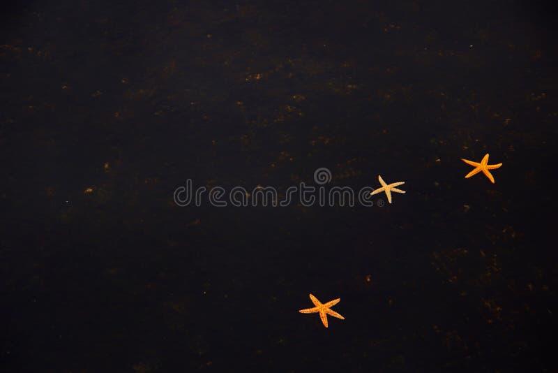 Svart bakgrund med sjöstjärnan vektor illustrationer