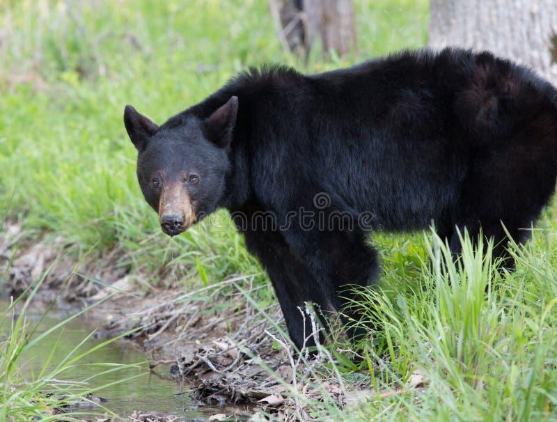 Svart björn royaltyfria foton