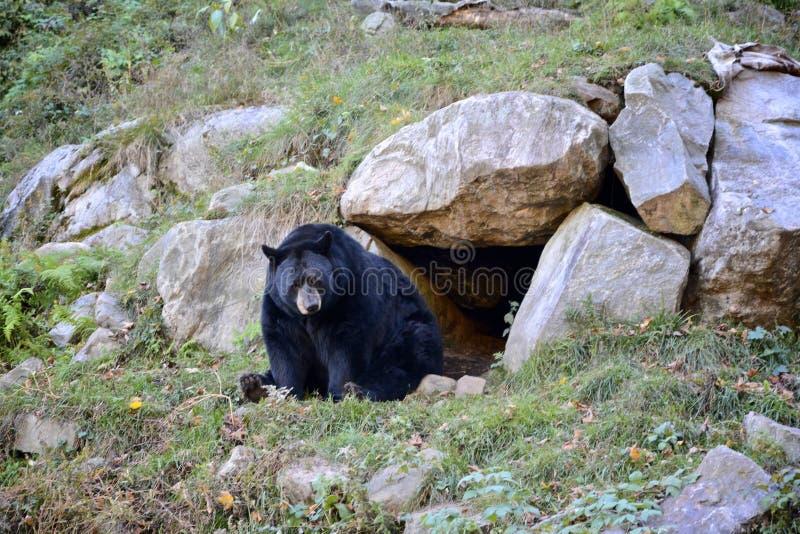 Svart björn arkivfoto