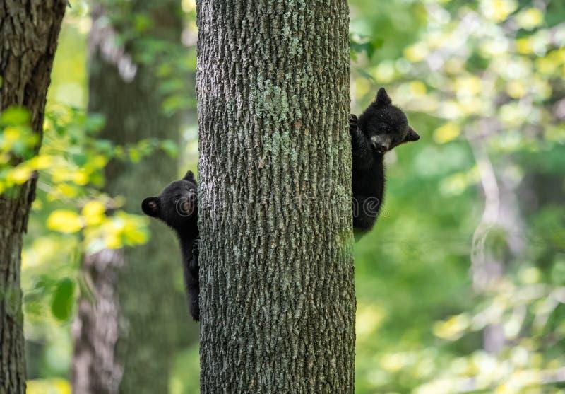 Svart björn i Pennsylvania arkivbilder