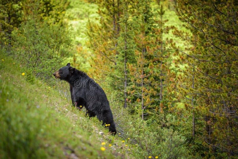 Svart björn i skogar av Banff och Jasper National Park, Kanada arkivbild