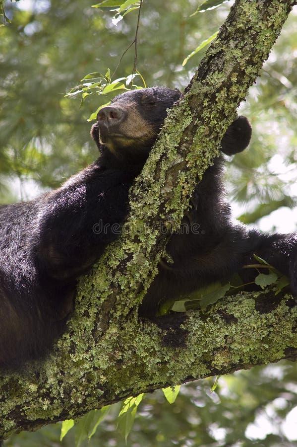 Svart björn Sleeoing i Tree royaltyfria foton