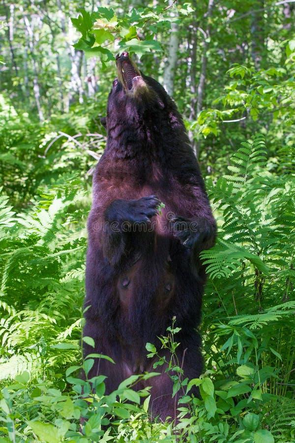 Svart björn som äter bär royaltyfri bild