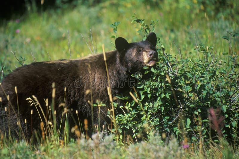 Svart björn som äter blåbär, glaciärnationalpark, MT royaltyfri foto