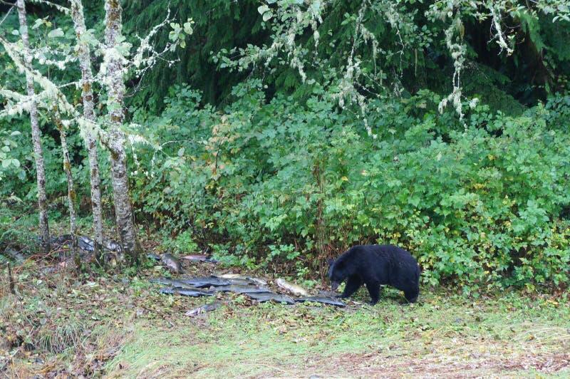 Svart björn som äter laxen på bankerna av en flod nära Ucluelet, British Columbia, Kanada royaltyfri fotografi