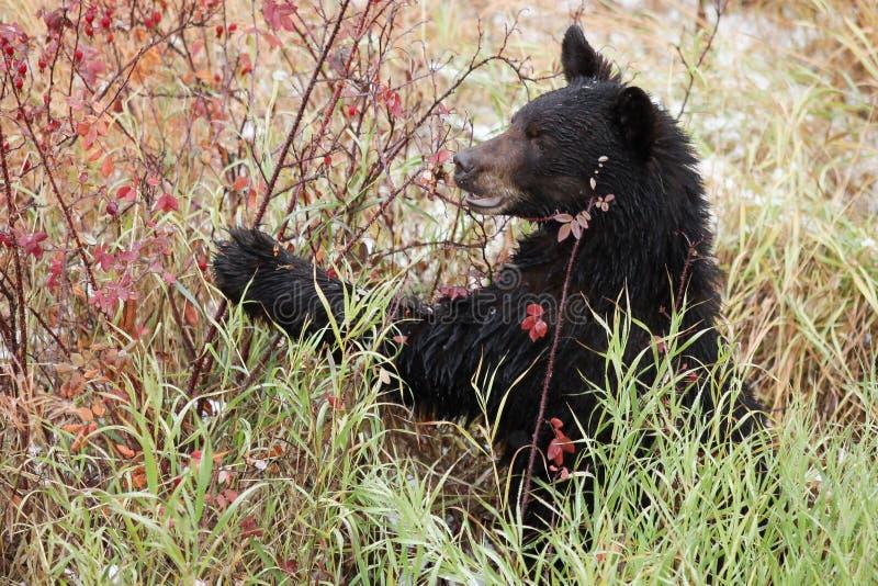 Svart björn som äter rosa höfter royaltyfri bild