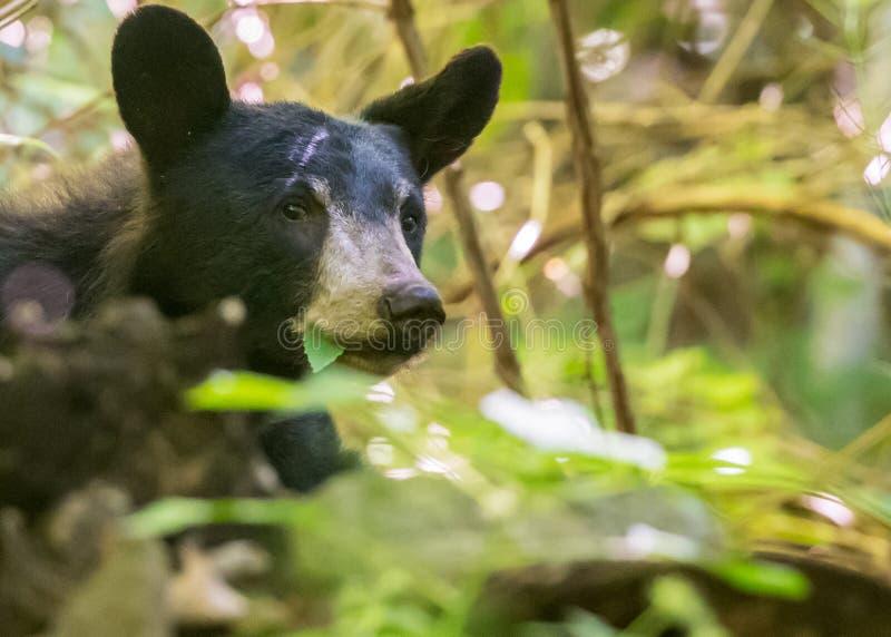 Svart björn som äter sidor royaltyfri bild