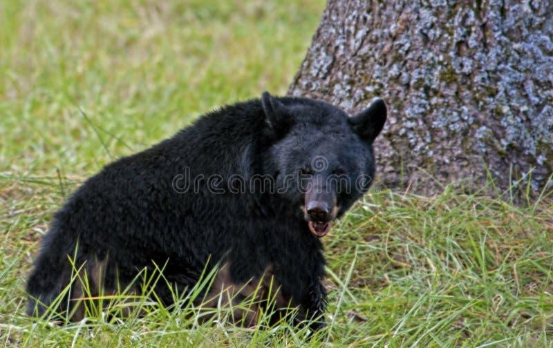 Svart björn som äter valnötter royaltyfri fotografi