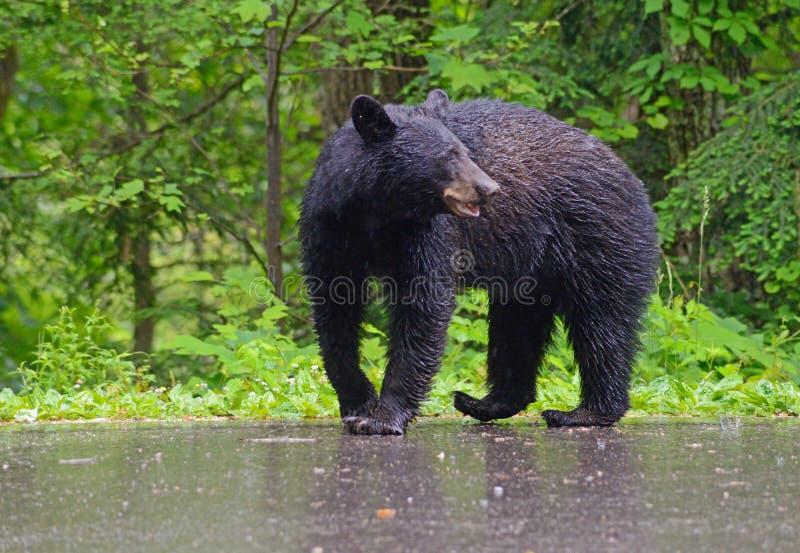 Svart björn som går i regnet arkivbild