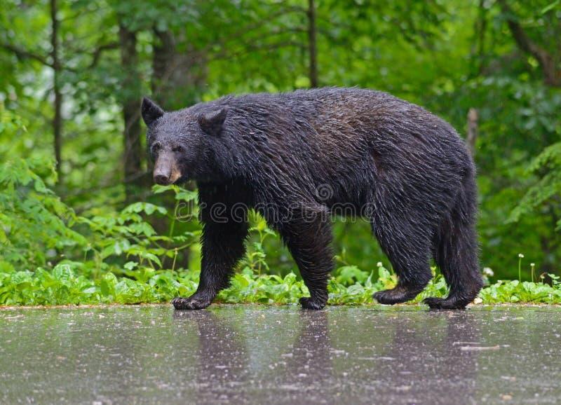 Svart björn som går i regnet, rökiga berg royaltyfri fotografi
