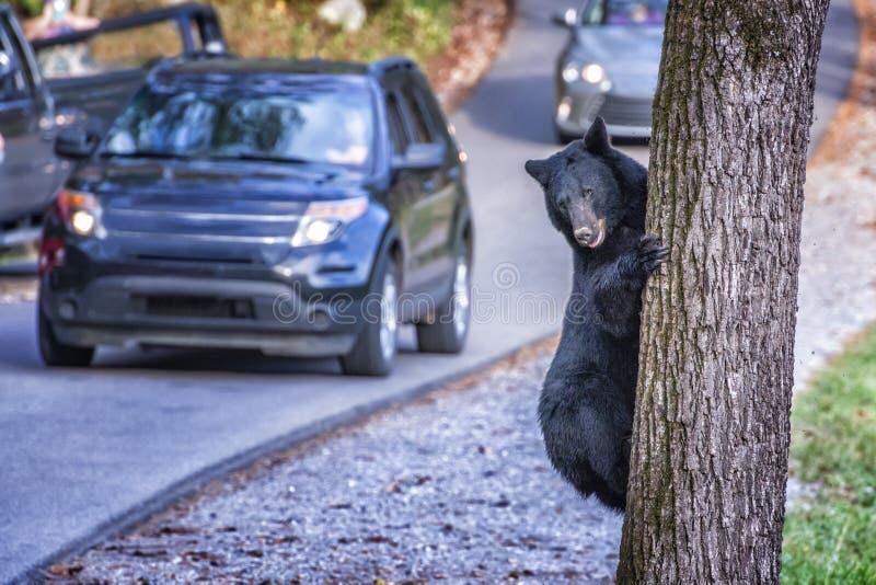 Svart björn som klättrar trädet i den Cades lilla viken i Tennessee royaltyfria foton