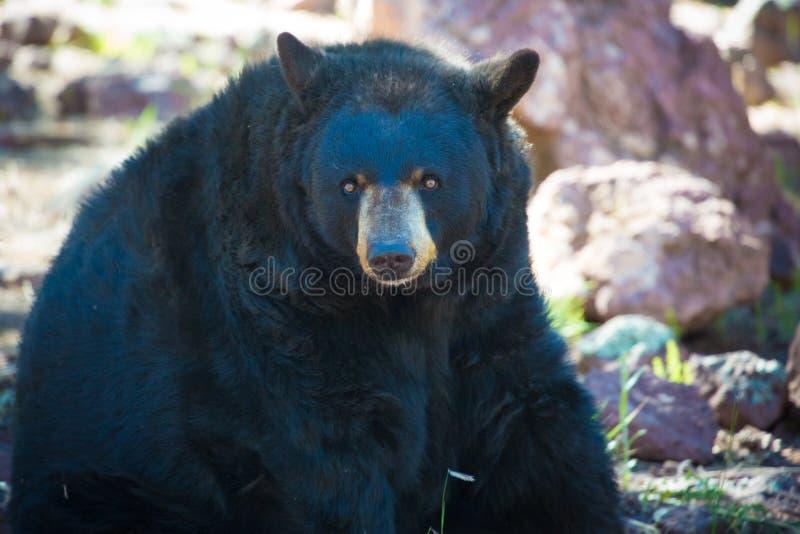 Svart björn som sitter i en zoo royaltyfri foto