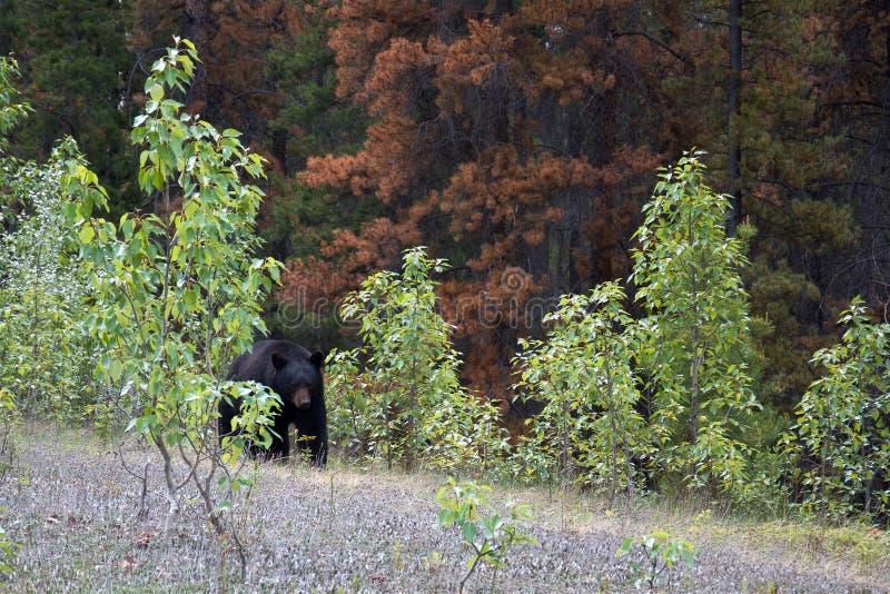 Svart björn som ut kommer från pinjeskogen royaltyfria bilder