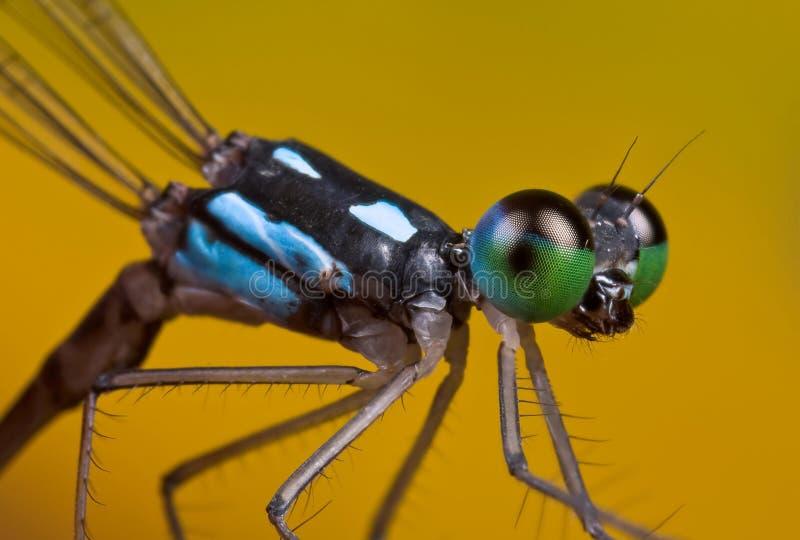 svart blå coelicciadamselfly för albicauda arkivfoton
