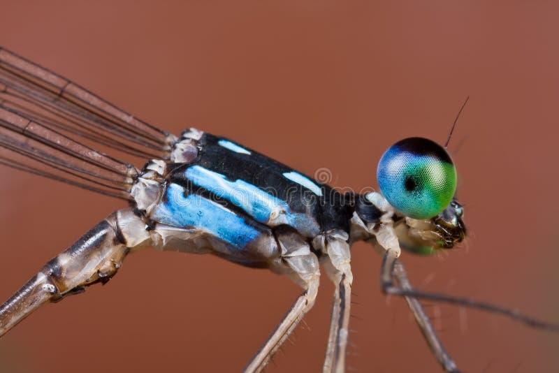 svart blå coelicciadamselfly för albicauda fotografering för bildbyråer