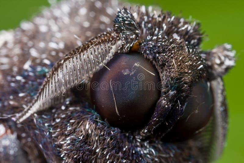 svart blåaktig mal royaltyfri foto