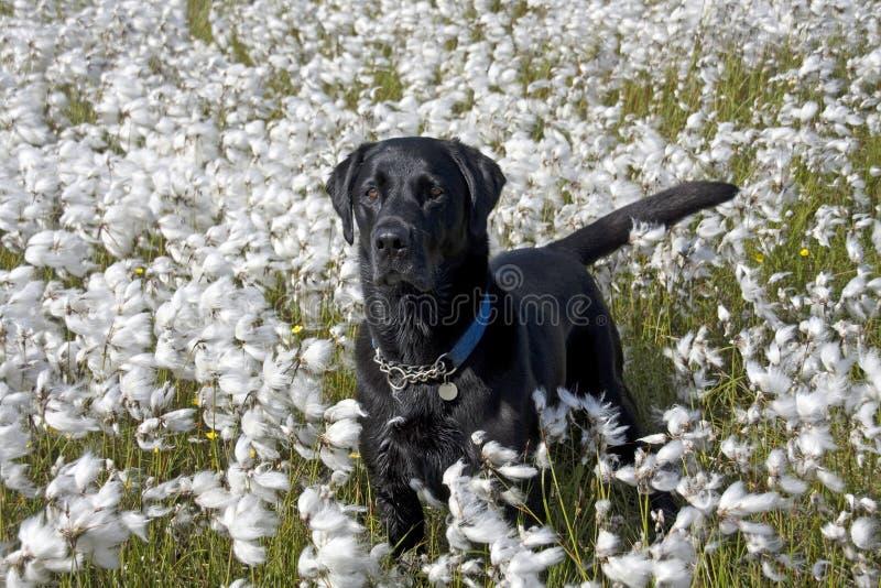 svart bomullshundgräs labrador royaltyfria bilder