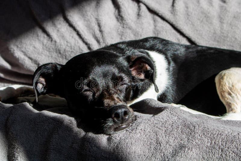 Svart brasiliansk terrierhund som tyst sover på solnedgången med strålarna av solstryken på hans framsida på soffan royaltyfri bild