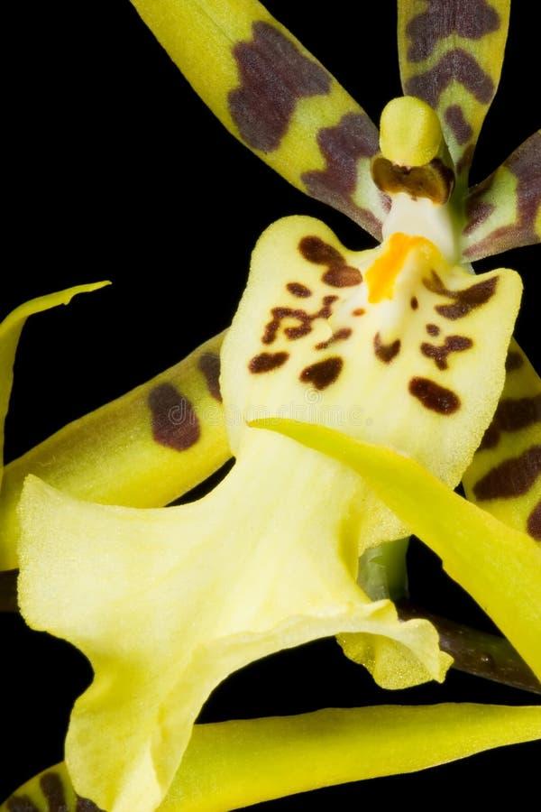 svart brassiaorchid arkivfoto