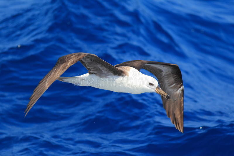 Svart-browed albatross arkivfoto