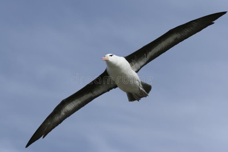 svart browed för albatross arkivfoto