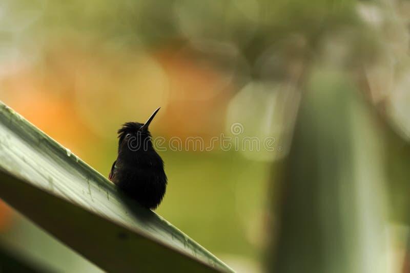 Svart-buktad kolibri som sätta sig på bladet, färgrik bakgrund, härlig mycket liten svart kolibri, fågel som vilar på blomman arkivfoto