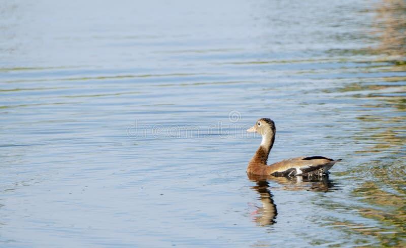 Svart-buktat vissla Duck Dendrocygna autumnalisbad i ett litet damm i Mexico royaltyfri fotografi