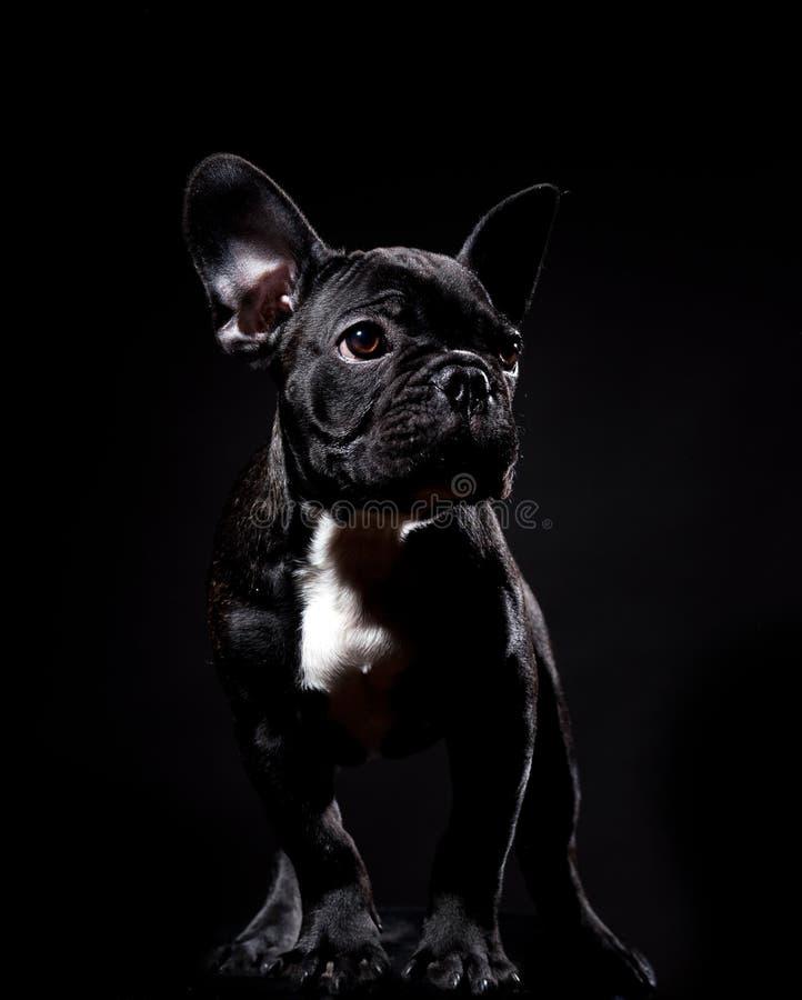 svart bulldoggfransman royaltyfri bild