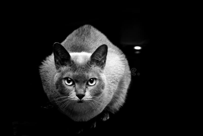 svart burmese kattwhite arkivfoto