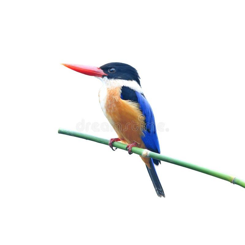 Svart-capped Kingfisher royaltyfria bilder