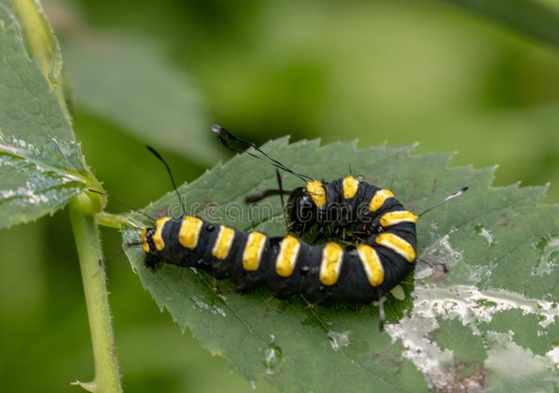 svart caterpillaryellow royaltyfri bild