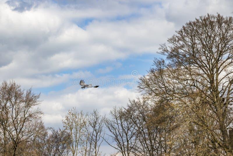 Svart-chested vråk-Eagle i flykten över trädkronor royaltyfria foton