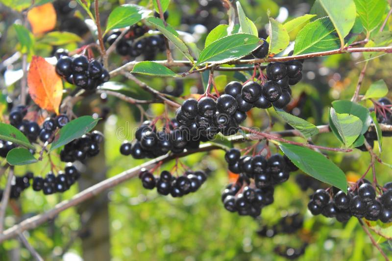 Svart chokeberry Bush i sommar i trädgården royaltyfri bild