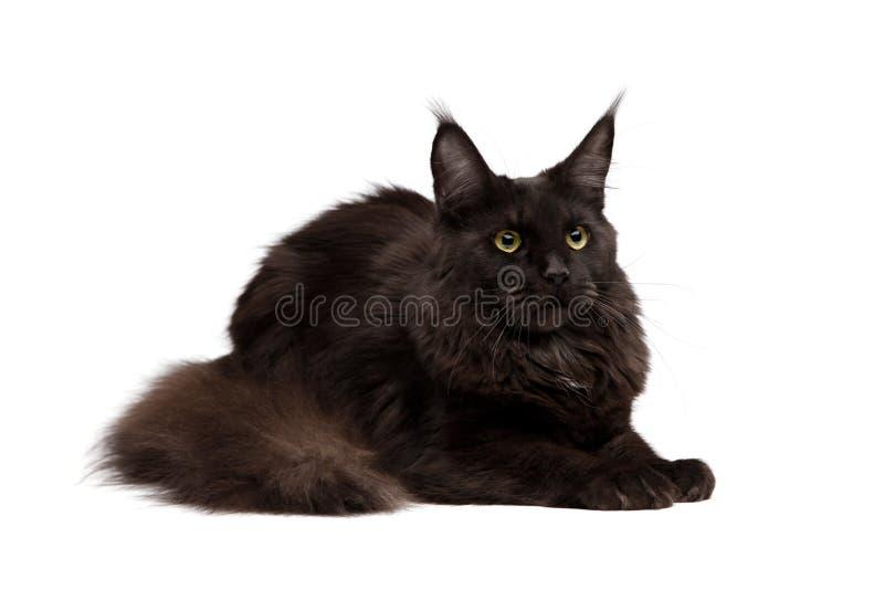 svart coon maine arkivfoto