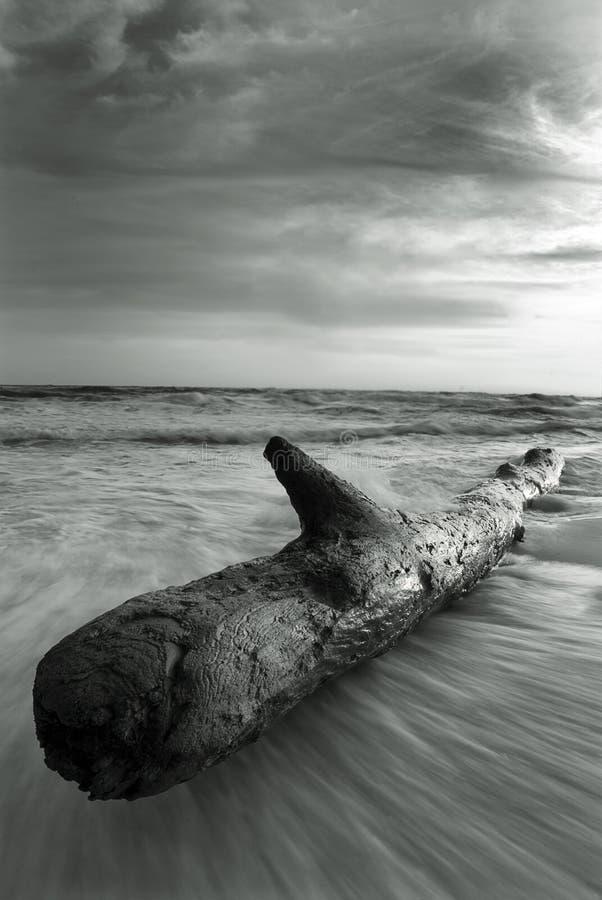 svart driftwoodwhite arkivbilder